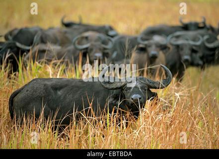 African buffalo (Syncerus caffer), herd standing in savannah, Uganda, Queen Elizabeth National Park - Stock Photo