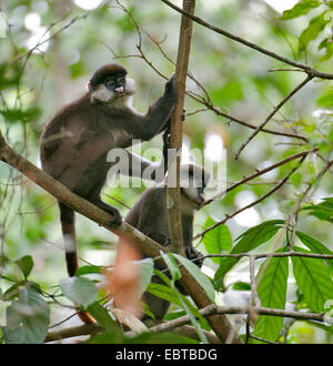 black-cheeked white-nosed monkey, Schmidt's guenon, red-tailed monkey (Cercopithecus ascanius), two red-tailed monkeys - Stock Photo