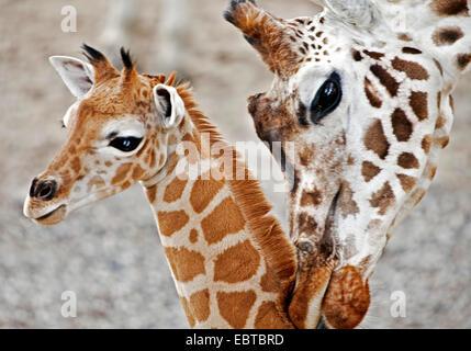 giraffe (Giraffa camelopardalis), mother and baby - Stock Photo