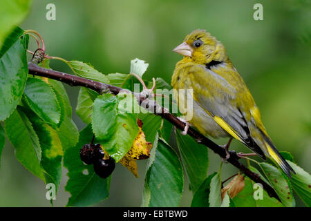 western greenfinch (Carduelis chloris), male in breeding plumage sitting on a twig from a cherry tree , Germany - Stock Photo
