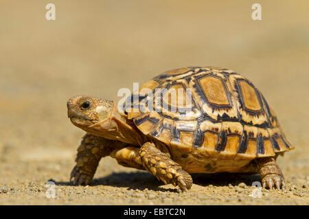 leopard tortoise (Geochelone pardalis, Stigmochelys pardalis), walking, South Africa, Hluhluwe-Umfolozi National - Stock Photo