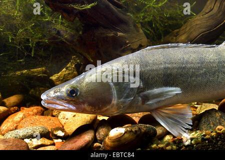 pike-perch, zander (Stizostedion lucioperca, Sander lucioperca), swimming at the bottom of the sea among stones - Stock Photo