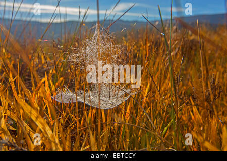 sheet-web weaver, sheet-web spinner, line-weaving spider, line weavers, money spider (Linyphiidae), spiderweb in - Stock Photo