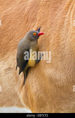 red-billed oxpecker (Buphagus erythrorhynchus), searching for food in the fur of an impala, South Africa, Krueger - Stock Photo