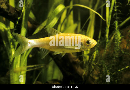 ide, id, orfe, golden orfe (Leuciscus idus), cultivated form, swimming among water plants - Stock Photo