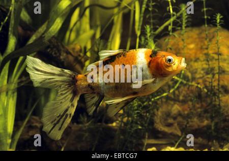 Shubunkin goldfish (Carassius auratus), swimming among waterplants - Stock Photo