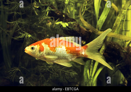 goldfish, common carp (Carassius auratus, Carassius auratus auratus, Carassius gibelio), swimming among waterplants - Stock Photo