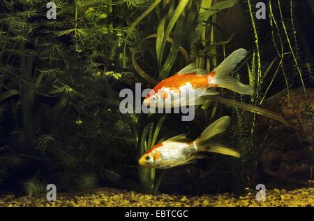 goldfish, common carp (Carassius auratus, Carassius auratus auratus, Carassius gibelio), two fishes swimming among - Stock Photo