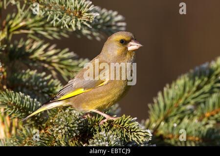 western greenfinch (Carduelis chloris), male sitting on fir twig - Stock Photo