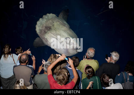 ocean sunfish (Mola mola), visitors of an aquarium taking pictures of an ocean sunfish - Stock Photo