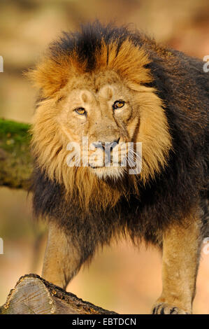 Asiatic lion (Panthera leo persica), portrait of a male - Stock Photo