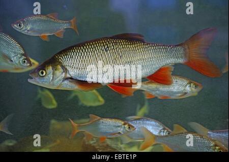rudd (Scardinius erythrophthalmus), shoal, Vechta, Niedersachsen, Germany - Stock Photo