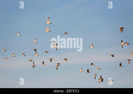 dunlin (Calidris alpina), flock flying in front of blue sky, Germany, Schleswig-Holstein - Stock Photo