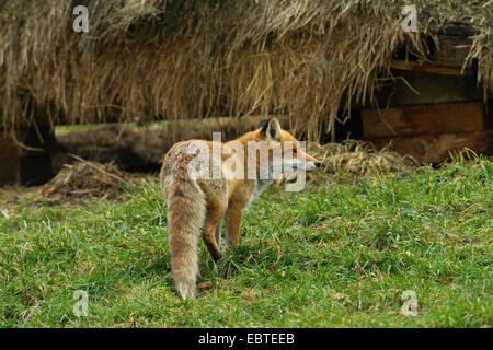 red fox (Vulpes vulpes), standing in a meadow at an old haystack, Germany - Stock Photo