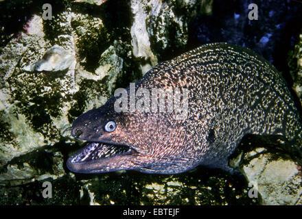 Mediterranean moray, European moray (Muraena helena), at the sea ground, looking out between rocks - Stock Photo