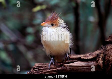 guira cuckoo (Guira guira), sitting on dead wood - Stock Photo