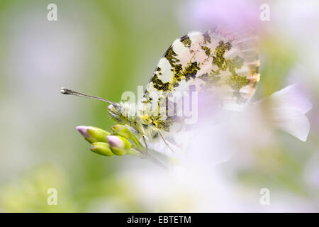 orange-tip (Anthocharis cardamines), sitting on a cuckooflower, Germany - Stock Photo