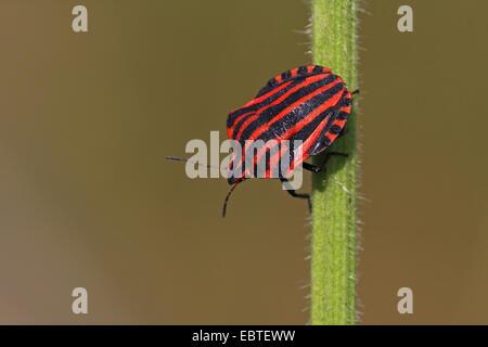 Graphosoma lineatum, Italian Striped-Bug, Minstrel Bug (Graphosoma lineatum, Graphosoma italicum), sitting at a - Stock Photo