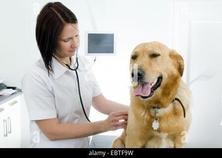 Labrador Retriever (Canis lupus f. familiaris), female vet checking a dog - Stock Photo