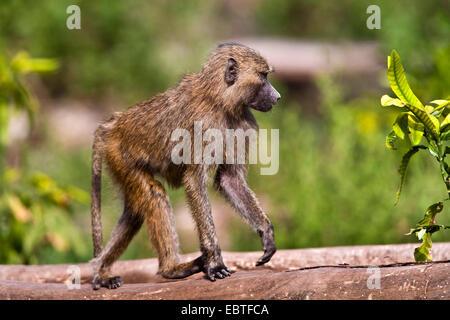 yellow baboon, savannah baboon, anubius baboon, olive baboon (Papio anubis, Papio cynocephalus anubis), walking - Stock Photo