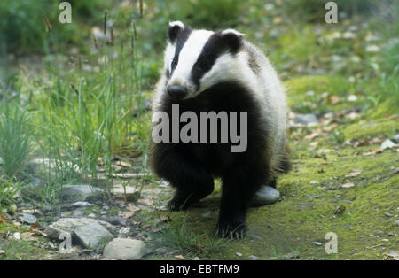 Old World badger, Eurasian badger (Meles meles), running, Germany - Stock Photo