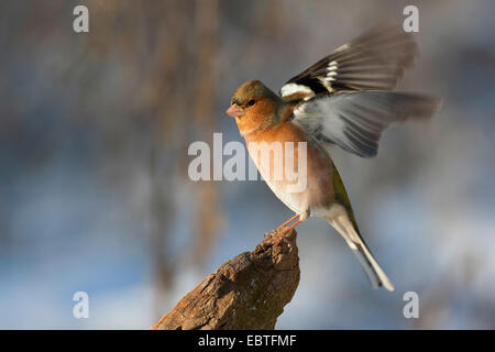 chaffinch (Fringilla coelebs), male flaping wings, Germany - Stock Photo