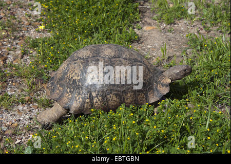 leopard tortoise (Geochelone pardalis), in a meadow, South Africa, Western Cape - Stock Photo