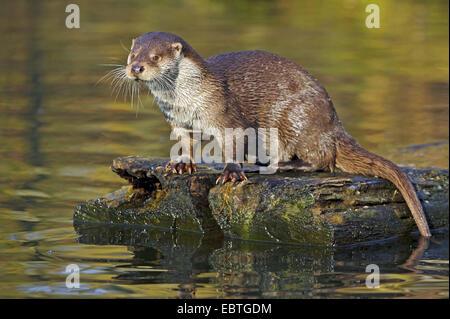 European river otter, European Otter, Eurasian Otter (Lutra lutra), sitting on wooden board in water, Germany, Lower - Stock Photo