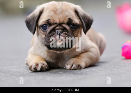 Pug (Canis lupus f. familiaris), puppy lying on the ground, Germany - Stock Photo
