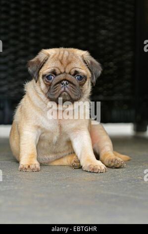 Pug (Canis lupus f. familiaris), puppy sitting on the ground, Germany - Stock Photo