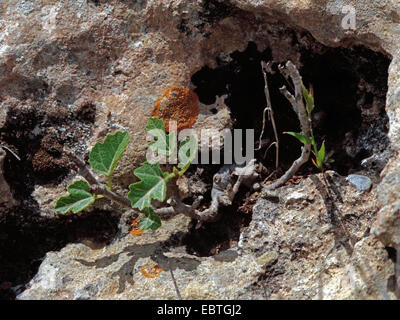 edible fig, common fig (Ficus carica), wild in a rock crevice, Greece, Peloponnes - Stock Photo