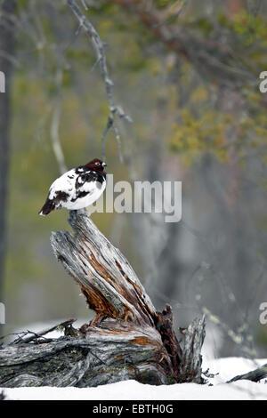 willow grouse (Lagopus lagopus), male on a tree stub, Sweden, Fulufjaellet National Park - Stock Photo