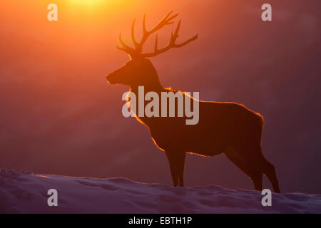 red deer (Cervus elaphus), silhouette of a bull in front of winterly sunset, Austria, Vorarlberg - Stock Photo