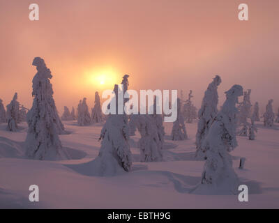 snow covered coniferous trees at sunset, Czech Republic, Riesengebirge, Spindlermuehle - Stock Photo