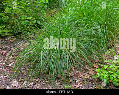 tufted hair-grass (Deschampsia cespitosa), Germany - Stock Photo
