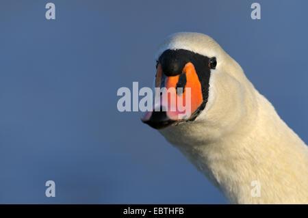 mute swan (Cygnus olor), portrait in morning light, Germany, North Rhine-Westphalia - Stock Photo