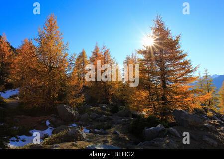 common larch, European larch (Larix decidua, Larix europaea), larches at mountain slope in autumn, Switzerland, - Stock Photo