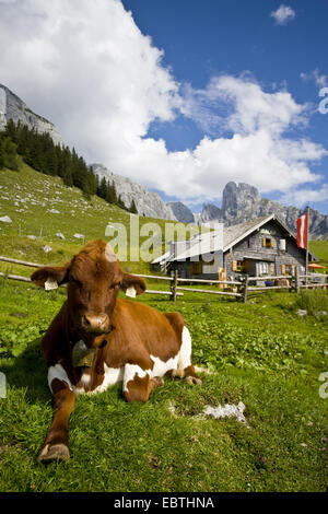 domestic cattle (Bos primigenius f. taurus), cow lying in a mountain meadow in front of an alpine cabin, Austria, - Stock Photo