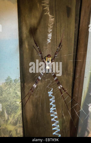golden-silk spider, golden silk orbweaver (Nephila clavipes), in its web, Australia, Western Australia, Cape Range - Stock Photo
