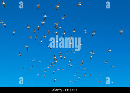 silver gull (Larus novaehollandiae, Chroicocephalus novaehollandiae), flock in the sky, Australia, Western Australia, - Stock Photo