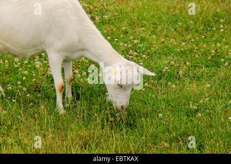 domestic goat, Weisse Deutsche Edelziege, White German Goat (Capra hircus, Capra aegagrus f. hircus), dairy goat - Stock Photo
