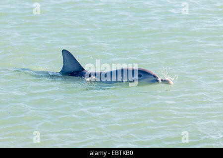 Bottlenosed dolphin, Common bottle-nosed dolphin (Tursiops truncatus), swimming on the surface of the water, Australia, - Stock Photo