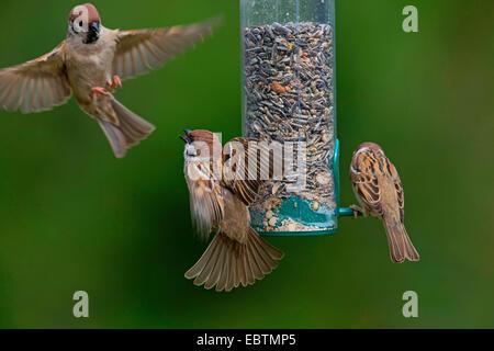 Eurasian tree sparrow (Passer montanus), tree sparrows feed grains from a bird feeder, Germany - Stock Photo