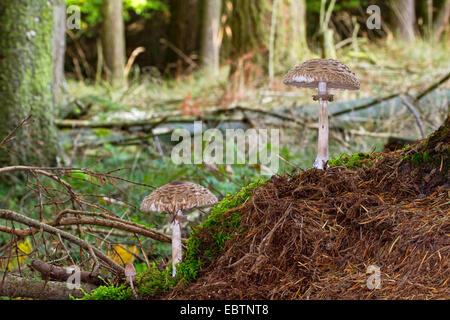 Shaggy parasol (Chlorophyllum rachodes, Macrolepiota rachodes, Chlorophyllum racodes, Macrolepiota racodes), three - Stock Photo