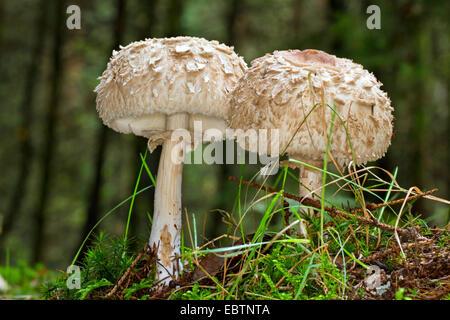 Shaggy parasol (Chlorophyllum rachodes, Macrolepiota rachodes, Chlorophyllum racodes, Macrolepiota racodes), two - Stock Photo
