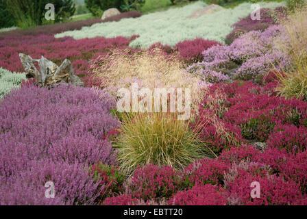 tufted hair-grass (Deschampsia cespitosa), blooming amongst heath in a haeth garden - Stock Photo