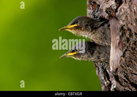common starling (Sturnus vulgaris), young starlings peering from its nest hole, Switzerland, Sankt Gallen - Stock Photo