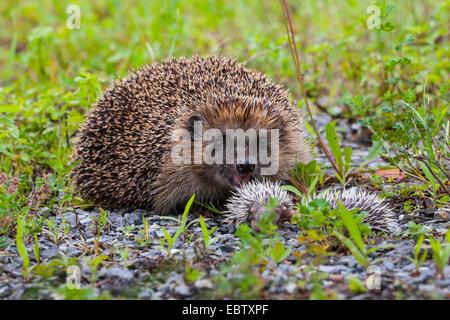 Western hedgehog, European hedgehog (Erinaceus europaeus), mother hedgehog with two young children, Switzerland, - Stock Photo