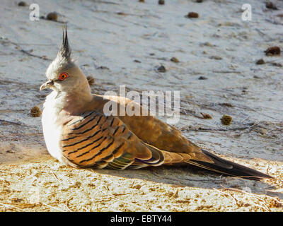 crested pigeon (Ocyphaps lophotes), resting on the ground, Australia, Western Australia, Coral Bay - Stock Photo