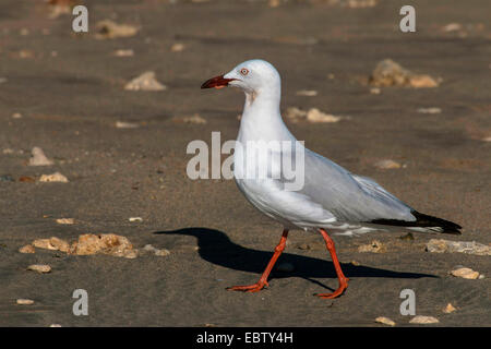 silver gull (Larus novaehollandiae, Chroicocephalus novaehollandiae), with a worm in its bill, Australia, Western - Stock Photo